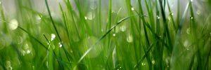 herbe mouillée