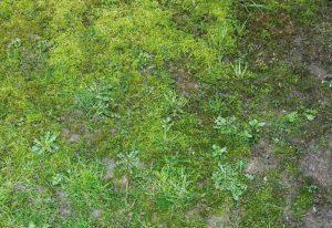 Mousse dans pelouse